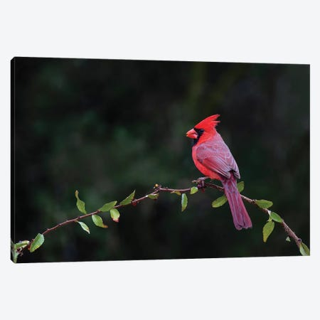 Northern cardinal perched. Canvas Print #LDI42} by Larry Ditto Canvas Art