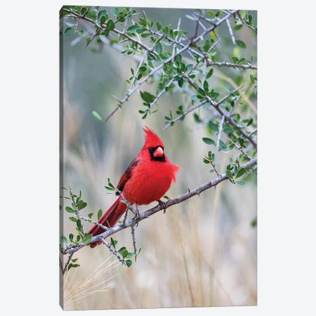 Northern cardinal perched. Canvas Print #LDI43} by Larry Ditto Canvas Art