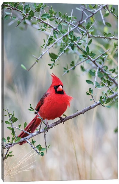 Northern cardinal perched. Canvas Art Print