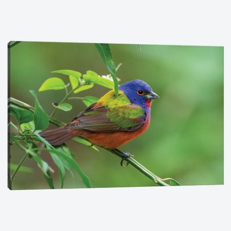 Painted bunting (Passerina ciris) male foraging. Canvas Print #LDI44} by Larry Ditto Canvas Art Print