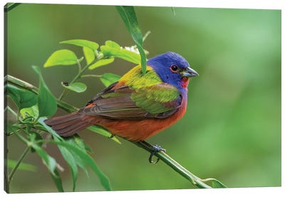 Painted bunting (Passerina ciris) male foraging. Canvas Art Print