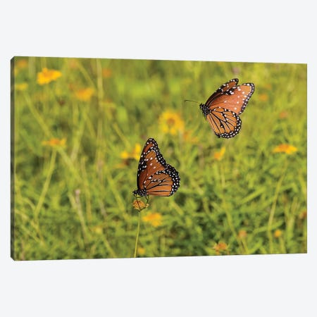 Queens (Danaus gilippus) butterfly pair in breeding activity Canvas Print #LDI45} by Larry Ditto Canvas Art Print