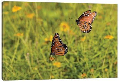 Queens (Danaus gilippus) butterfly pair in breeding activity Canvas Art Print