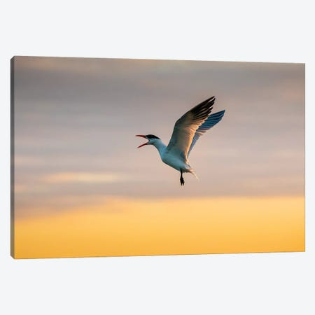 Royal tern (Sterna maxima) calling. Canvas Print #LDI46} by Larry Ditto Art Print