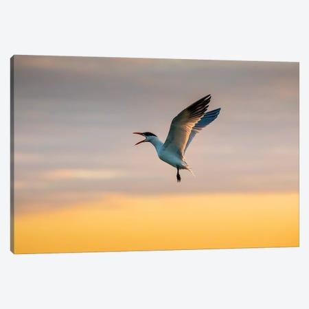 Royal tern (Sterna maxima) calling. Canvas Print #LDI46} by Larry Ditto Art Print