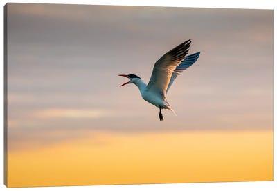 Royal tern (Sterna maxima) calling. Canvas Art Print