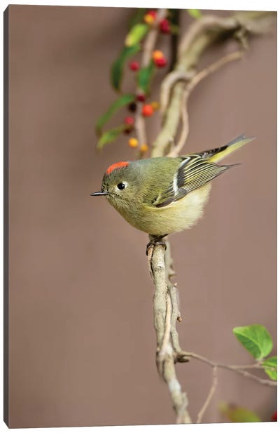 Ruby-crowned kinglet (Regulus calendula) perched. Canvas Art Print