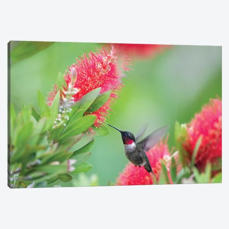 Ruby-throated hummingbird (Archilochus colubris) male feeding. Canvas Print #LDI48} by Larry Ditto Canvas Artwork