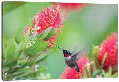 Ruby-throated hummingbird (Archilochus colubris) male feeding. Canvas Art Print