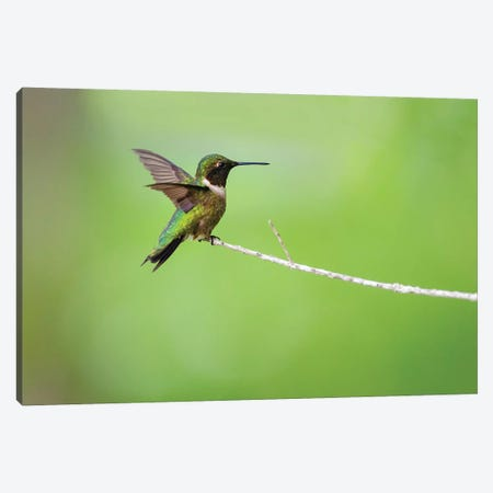 Ruby-throated hummingbird (Archilochus colubris) male landing. Canvas Print #LDI49} by Larry Ditto Canvas Art