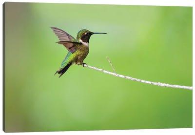 Ruby-throated hummingbird (Archilochus colubris) male landing. Canvas Art Print