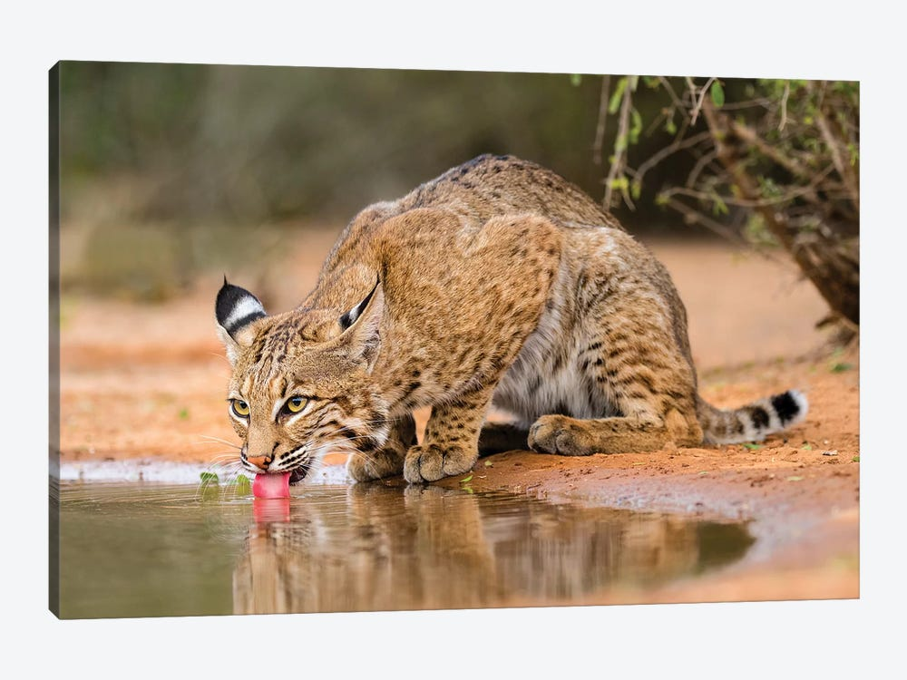 Bobcat, Lynx Rufus, drinking by Larry Ditto 1-piece Canvas Art
