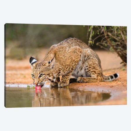 Bobcat, Lynx Rufus, drinking Canvas Print #LDI4} by Larry Ditto Canvas Art Print
