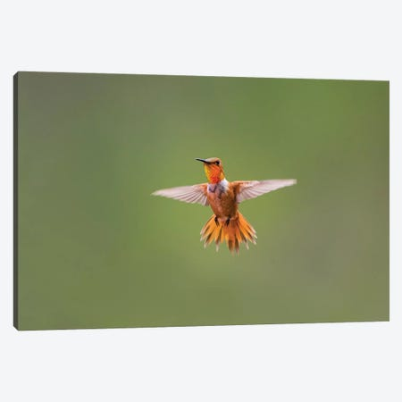 Rufous hummingbird (Selasphorus rufus). Canvas Print #LDI50} by Larry Ditto Canvas Art Print