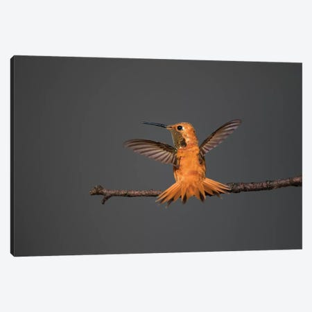 Rufous hummingbird (Selasphorus rufus). Canvas Print #LDI51} by Larry Ditto Canvas Print