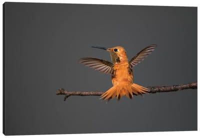 Rufous hummingbird (Selasphorus rufus). Canvas Art Print