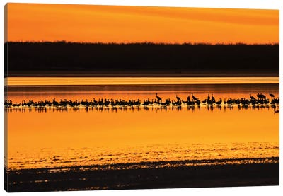 Snow Geese and Sandhill Cranes at the roost Canvas Art Print