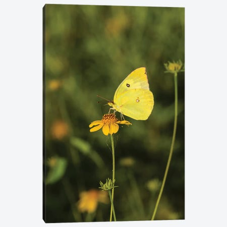Southern Dogface (Colias cesonia) butterfly feeding Canvas Print #LDI53} by Larry Ditto Art Print