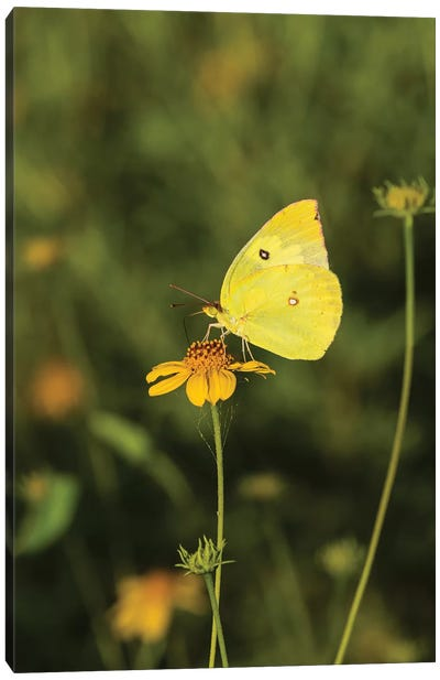 Southern Dogface (Colias cesonia) butterfly feeding Canvas Art Print