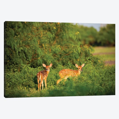 White-tailed deer (Odocoileus virginianus) fawn resting in cover. Canvas Print #LDI55} by Larry Ditto Canvas Art