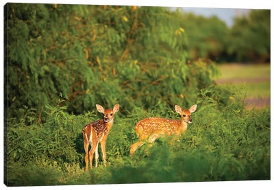 White-tailed deer (Odocoileus virginianus) fawn resting in cover. Canvas Art Print