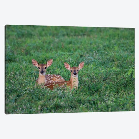 White-tailed deer (Odocoileus virginianus) fawns resting in cover. Canvas Print #LDI56} by Larry Ditto Canvas Wall Art