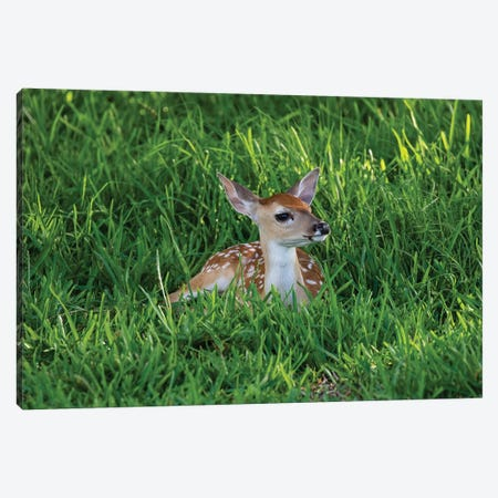 White-tailed deer (Odocoileus virginianus) fawns resting in cover. Canvas Print #LDI57} by Larry Ditto Canvas Art