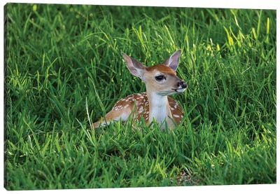 White-tailed deer (Odocoileus virginianus) fawns resting in cover. Canvas Art Print