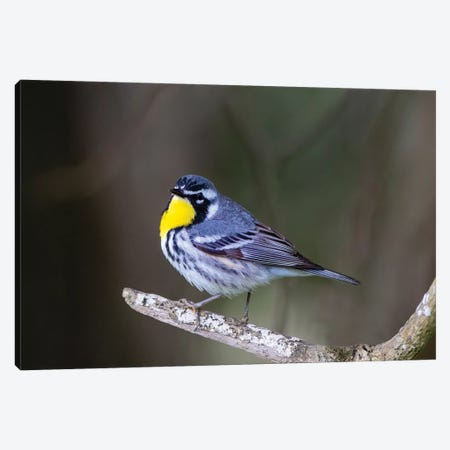 Yellow-throated warbler (Dendroica dominica) perched. Canvas Print #LDI58} by Larry Ditto Canvas Art Print