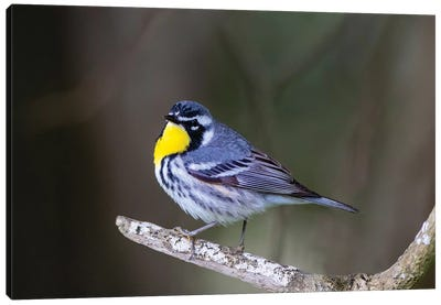 Yellow-throated warbler (Dendroica dominica) perched. Canvas Art Print