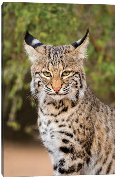 Bobcat, Lynx Rufus, sitting Canvas Art Print