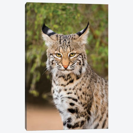 Bobcat, Lynx Rufus, sitting Canvas Print #LDI5} by Larry Ditto Canvas Art Print