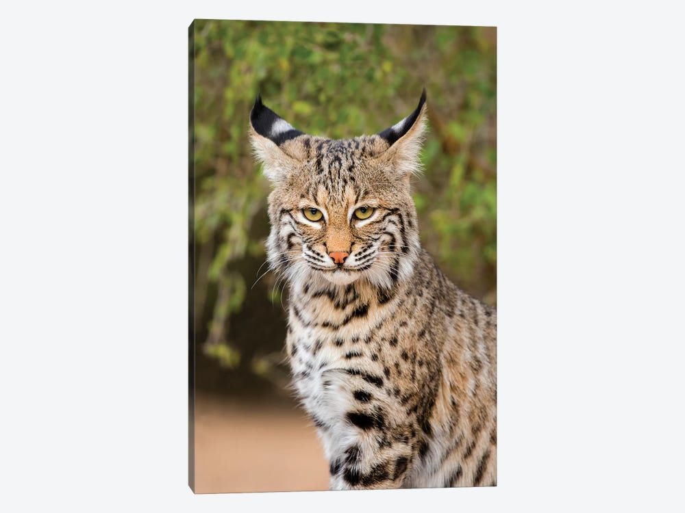 Bobcat, Lynx Rufus, sitting by Larry Ditto 1-piece Canvas Print