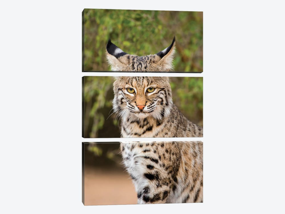Bobcat, Lynx Rufus, sitting by Larry Ditto 3-piece Art Print