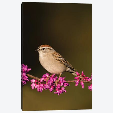 Chipping Sparrow, Spizella Passerina, perched Canvas Print #LDI6} by Larry Ditto Canvas Art Print