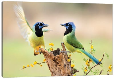 Green Jay, Cyanocorax Yncas,  Canvas Art Print