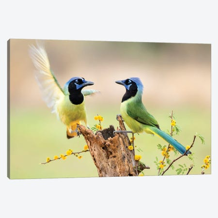 Green Jay, Cyanocorax Yncas,  Canvas Print #LDI8} by Larry Ditto Canvas Art