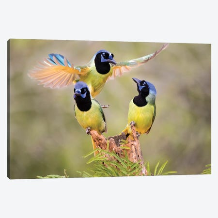 Green Jay, Cyanocorax Yncas, fighting for a perch Canvas Print #LDI9} by Larry Ditto Canvas Art