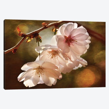 Cherry Blossom Illumination Canvas Print #LDR2} by Leda Robertson Canvas Artwork