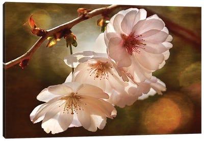 Cherry Blossom Illumination Canvas Art Print