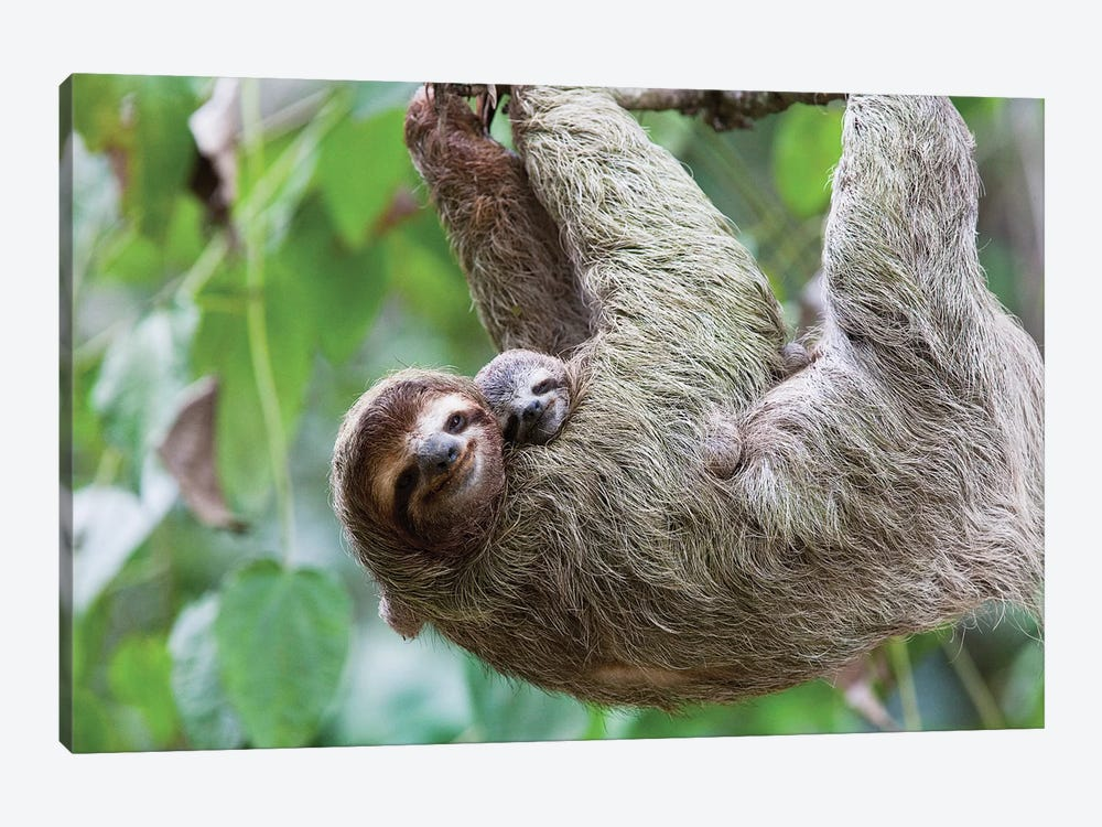 A Grinning Brown-Throated Sloth And Her Baby, Corcovado National Park, Osa Peninsula, Costa Rica by Jim Goldstein 1-piece Canvas Print
