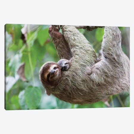 A Grinning Brown-Throated Sloth And Her Baby, Corcovado National Park, Osa Peninsula, Costa Rica Canvas Print #LDS1} by Jim Goldstein Art Print