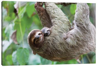 A Grinning Brown-Throated Sloth And Her Baby, Corcovado National Park, Osa Peninsula, Costa Rica Canvas Art Print