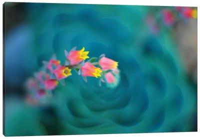 Rosularia Canvas Art Print