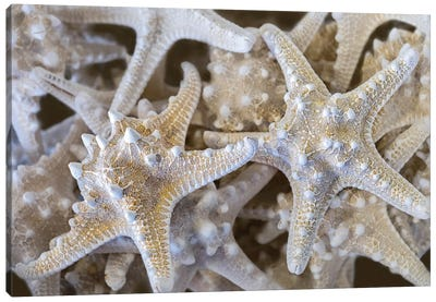 Knobby Starfish, USA Canvas Art Print