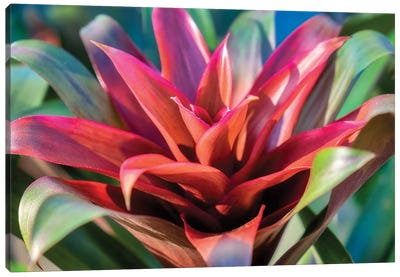 Red and green Bromeliad, USA Canvas Art Print
