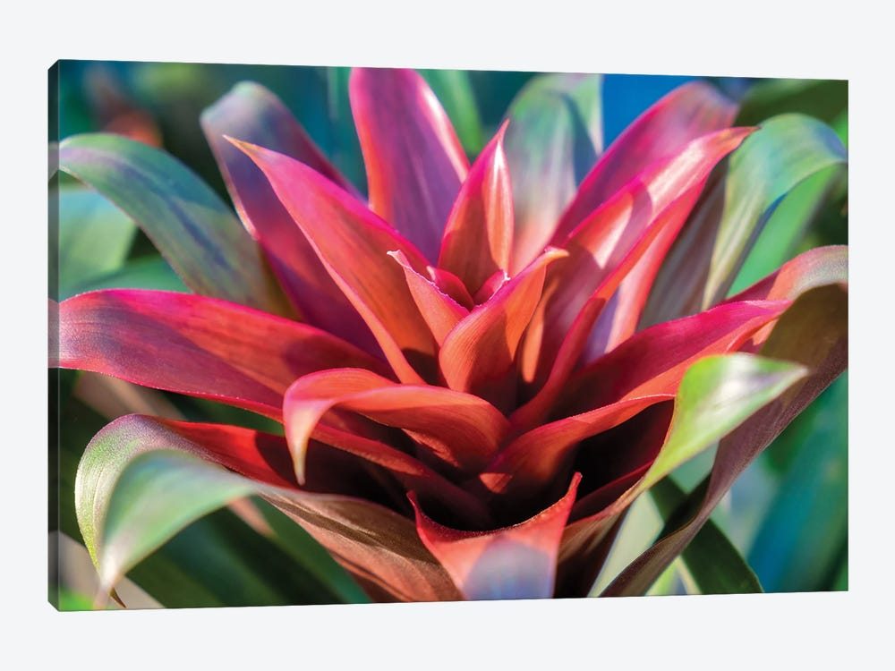 Red and green Bromeliad, USA by Lisa S. Engelbrecht 1-piece Canvas Wall Art