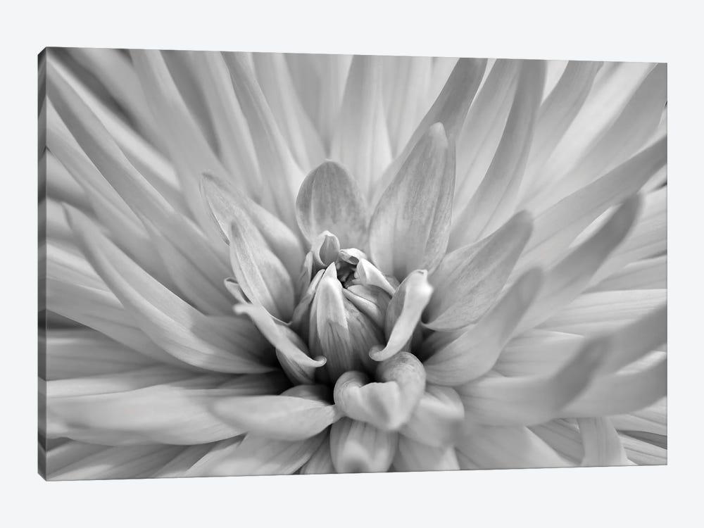 Pink dahlia, USA. by Lisa S. Engelbrecht 1-piece Art Print
