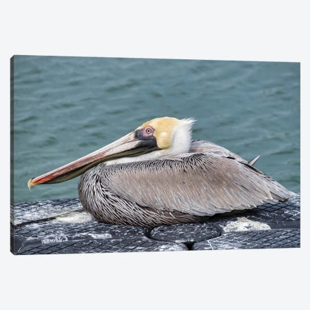 Brown pelican, New Smyrna Beach, Florida, USA Canvas Print #LEN6} by Lisa S. Engelbrecht Art Print