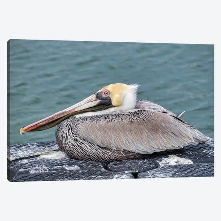 Brown pelican, New Smyrna Beach, Florida, USA Canvas Print #LEN6} by Lisa S. Engelbrecht Art Print